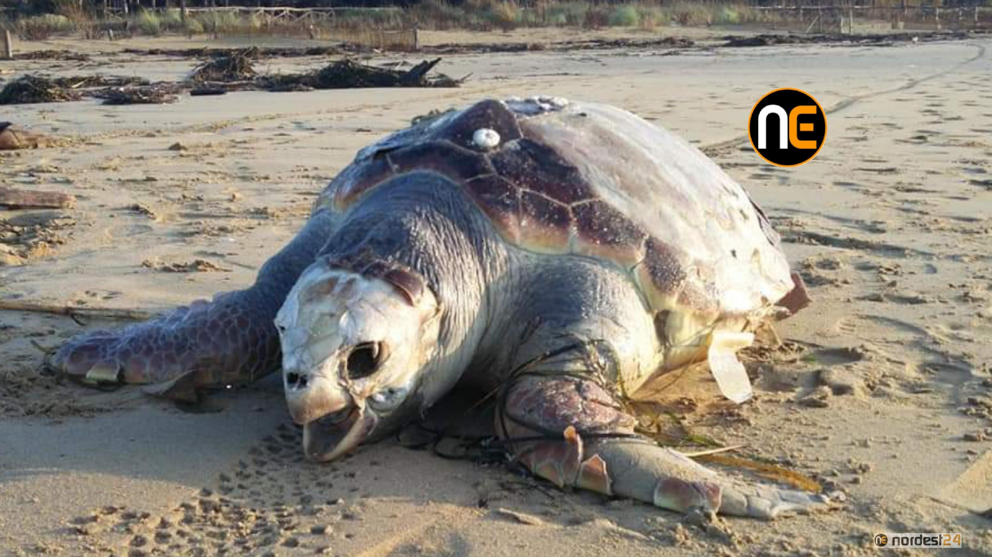 A Bibione boom di tartarughe spiaggiate: è allerta - Nordest24.it